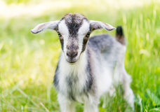 Goat grazing in meadow Royalty Free Stock Photography
