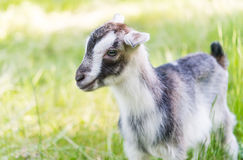 Goat grazing in meadow Royalty Free Stock Images