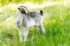Goat grazing in meadow Royalty Free Stock Photos