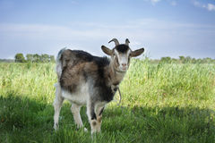 Goat grazing in the meadow. Stock Photography