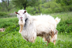 Goat grazing in meadow on a chain  village Stock Image