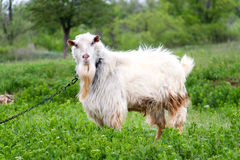 Goat grazing in meadow on a chain in village Royalty Free Stock Images