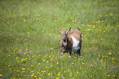 Goat grazing. Meadow with dandelions Royalty Free Stock Photo