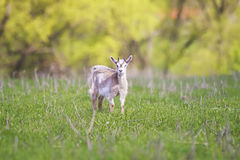 goat grazing in the meadow and eat grass Royalty Free Stock Images