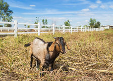 Goat grazing in the meadow farm Stock Images