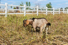 Goat grazing in the meadow farm Royalty Free Stock Photography