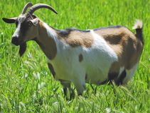 A goat grazing in a meadow Stock Image