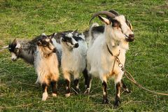 Goat grazing in a meadow with two small gray and white goats in the village stock photo