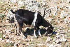 Goat grazing on a rock Royalty Free Stock Photos