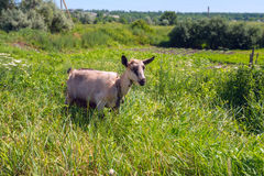 Goat grazing on a rural meadow amidst lush green grass Stock Image