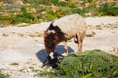 Goat grazing on scrubland, Malta. Goat grazing on scrubland by Dingli Aviation radar station, Dingli, Malta, Europe Stock Image