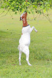 Goat Grazing on Tree Leaves Stock Photo