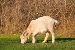 Goat grazing Stock Photo