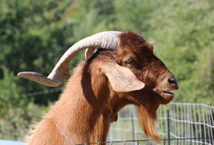 Goat in Greece Stock Photo