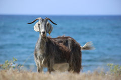 Goat in Greece Stock Photos