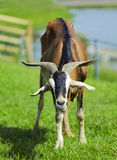Goat with green background. Goat with green grass background Royalty Free Stock Photography