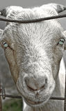 Goat with Green Eyes. Goat with unnaturally green eyes - genetic engineering Stock Photo
