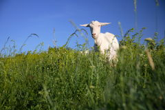Goat on the green field. In front of the beautiful sky Stock Photo