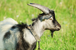 Goat in a green field Royalty Free Stock Photography
