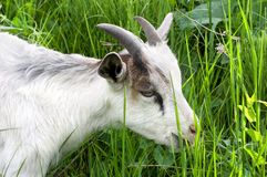 Goat in the green grass Royalty Free Stock Photography