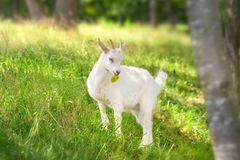 Goat on green grass stock images