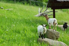Goat on green grass Stock Photo