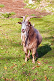 Goat on the green grass Royalty Free Stock Photos