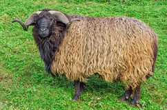 Goat on green grass Stock Photos