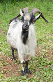 A goat on green grass Royalty Free Stock Photos