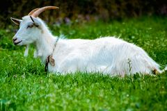 Goat on green grass. White Goat sit on green grass and chil royalty free stock photos