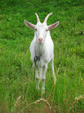 goat in the green grass Stock Image
