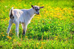 Goat on a green lawn Stock Image