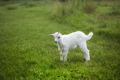 Goat on a green lawn Stock Photos