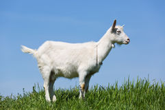 Goat on green meadow Stock Photography