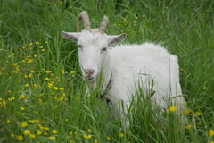Goat on a green meadow Stock Photos