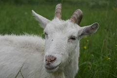 Goat on a green meadow Royalty Free Stock Photography