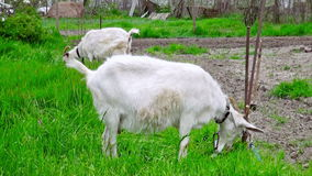 Goat on green meadow. stock footage