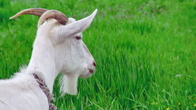 Goat on green meadow. stock video footage