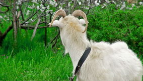 Goat on green meadow. stock video