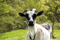 Goat on a green meadow Stock Images