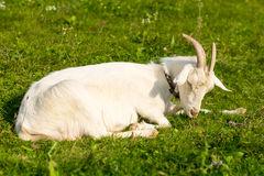 A goat on a green meadow. Royalty Free Stock Images