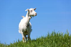 Goat on green meadow Stock Photos