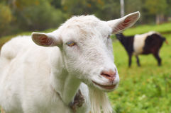 Goat on the green meadow in a village Royalty Free Stock Photo