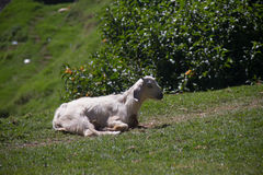 The goat on a green meadow Stock Photography