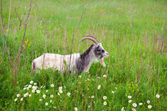 Goat on green pasture Royalty Free Stock Image