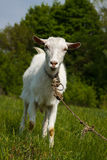 Goat on a green pasture. Looking into camera Stock Photo