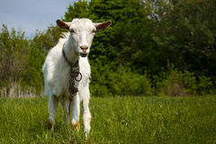 Goat on a green pasture. Looking into camera Royalty Free Stock Photo