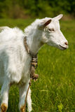 Goat on a green pasture. View profile Stock Image