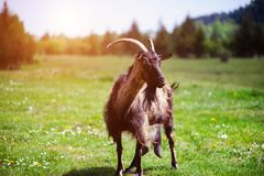 Goat on the green summer meadow. Agriculture, air, angle, animal, baby, background, blue, close, country, cute, day, domestic, eating, face, farm, farming royalty free stock image