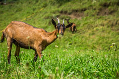 Goat on the green summer meadow Stock Photography